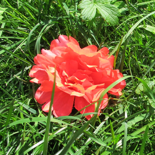 Basil Peony Flower coral